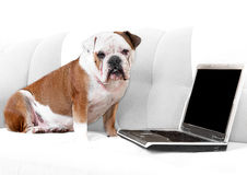 English bulldog with notebook Royalty Free Stock Photo