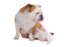 English bulldog nursing puppy Royalty Free Stock Image