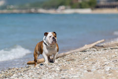 English bulldog out of the water. English bulldog out of the water onto the beach Royalty Free Stock Photography