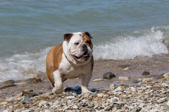 English bulldog out of the water. English bulldog out of the water onto the beach Royalty Free Stock Image
