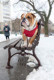 English bulldog outdoor Royalty Free Stock Photography