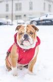 English bulldog outdoor Stock Image