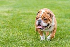 English bulldog outdoor. English bulldog walking in the park,selective focus Royalty Free Stock Images