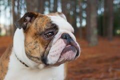 English Bulldog Royalty Free Stock Photos