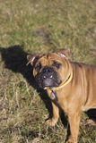English bulldog outdoors Stock Photo