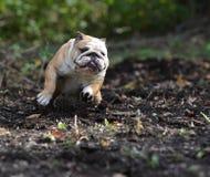 English bulldog Royalty Free Stock Images