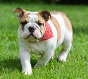 English bulldog outside Stock Photos