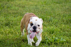 English bulldog in the park royalty free stock photo