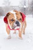 English bulldog in the park Stock Image