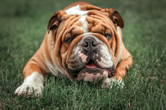 English bulldog in the park. Funny face of English bulldog,selective focus Royalty Free Stock Photo