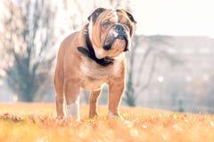 English bulldog in the park posing Royalty Free Stock Photography