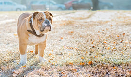 English bulldog in the park Stock Images