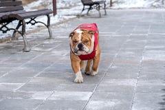 English bulldog in the park Stock Photo