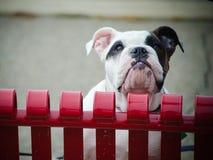 English bulldog peeking over fence. English bulldog peeking over red metal fence Stock Photos