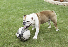 English Bulldog playing with a ball Royalty Free Stock Images