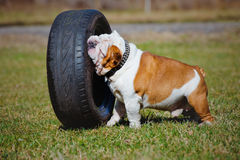 English bulldog playing with a car tyre Royalty Free Stock Image