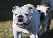 English bulldog playing with a puppy chasing her Stock Images