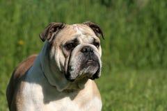 English Bulldog Portrait stock photo