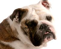 English bulldog portrait Royalty Free Stock Photos