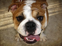 English Bulldog Portrait from above Stock Image
