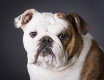 English bulldog portrait Royalty Free Stock Photo