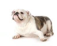 English bulldog portrait Royalty Free Stock Photos