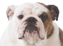 English bulldog portrait Stock Photos