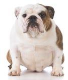 English bulldog portrait Stock Image