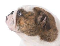 English bulldog portrait Stock Images