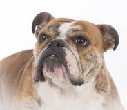 English bulldog portrait Royalty Free Stock Photography