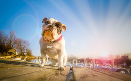English bulldog portrait on lake Stock Photography