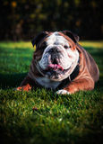 English bulldog portrait. Young 1 years old english bulldog lies on a green grass Royalty Free Stock Photos
