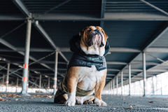 English bulldog posing outdoor Royalty Free Stock Photography