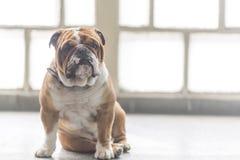 Portrait of English bulldog. English bulldog posing,selective focus and blank space Royalty Free Stock Photo