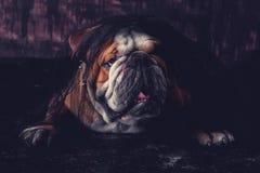 English bulldog posing Royalty Free Stock Photos