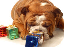 English bulldog with presents Royalty Free Stock Images