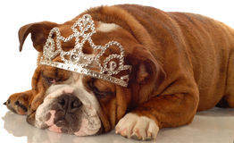 English bulldog princess Stock Images