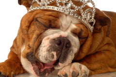 English bulldog princess Royalty Free Stock Images