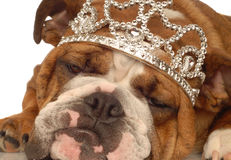 English bulldog princess Stock Photography