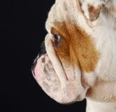English bulldog profile Stock Photo