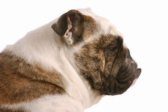 English bulldog profile Stock Photos