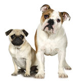 English Bulldog and a pug Stock Photos