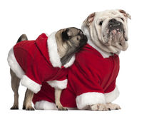 English bulldog and Pug wearing Santa outfits Stock Photo