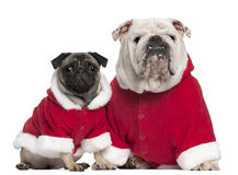 English bulldog and Pug wearing Santa outfits Royalty Free Stock Photos