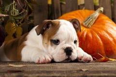 English bulldog. And a pumpkin stock photos