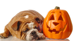 English bulldog with pumpkin Royalty Free Stock Photos