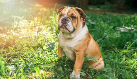 English bulldog pup in the grass Stock Photography