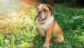 English bulldog pup in the grass. Selective focus Stock Photography