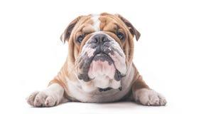 English bulldog pup Stock Photos