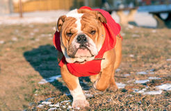 English bulldog pup in the park. Selective focus Stock Photo